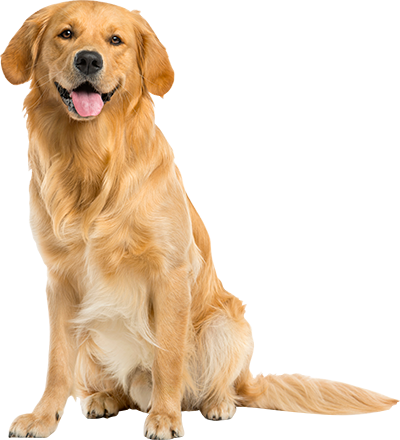 Mackle Golden Retriver