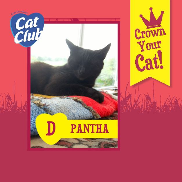 Introducing our Fourth Cat Club Finalist.. Pantha!